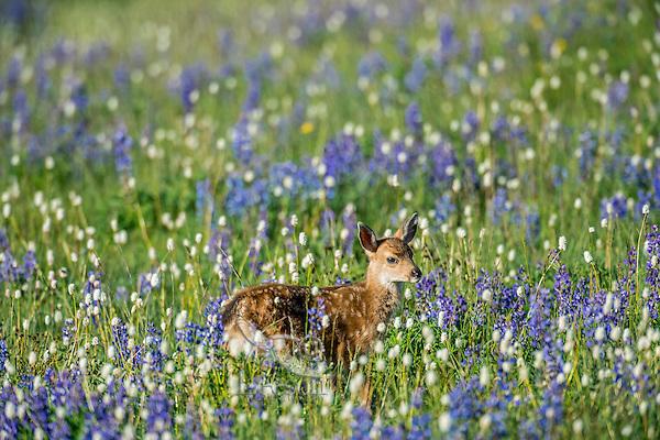 Columbian black-tailed deer (Odocoileus hemionus columbianus) fawn in subalpine meadow covered with wildflowers.  Pacific Northwest.  Summer.