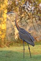 Goliath Heron (Ardea goliath)..Ndumo Game Reserve, Kwazulu-Natal, South Africa. November 2010.
