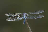 389100008 a wild male bar-winged skimmer libellula axilena an uncommon dragonfly perches on a dead twig in the angelina national forest jasper county texas