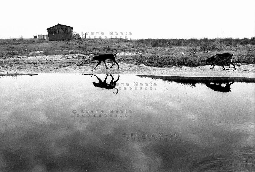 - Delta del Danubio, Laguna di Sacalin. Un capanno e due cani da caccia liberi lungo la sponda della laguna...- Danube Delta Area, Sacalinu Lagoon. A hut and two free hunting dogs along the bank of Sacalinu Lagoon.