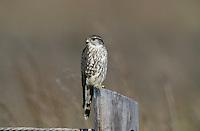 Merlin, Falco columbarius, adult on post, Port Aransas, Texas, USA, January 2002