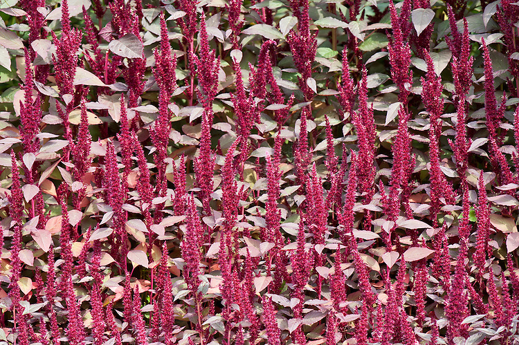 Amaranthus cruentus 'Oeschberg', late July. An annual also known as purple or red amaranth and Prince's feather.