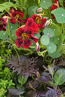 Gourmet Salad greens including edible Black Velvet Nasturtium flowers