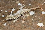 Rock Gecko (Pristurus guichardi), endemic to Socotra, Yemen.