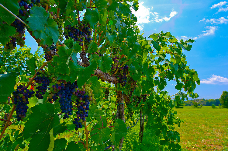 The natural ripening process of veraison is visible as the wine grape bunches turn from green to red, then purple and black in the vineyard near the parking area at King Family Vineyards (Crozet, Virginia, USA).  (HDR Image)