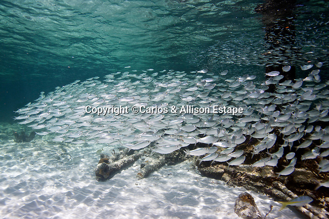 Silverides, Florida Keys
