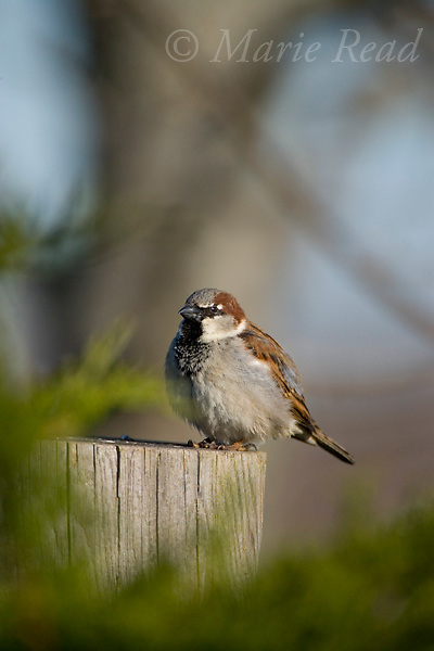 House Sparrow (Passer domesticus) male, Canastota, New York, USA, introduced species.