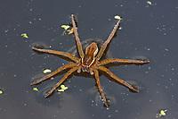 Gerandete Wasserspinne, Dolomedes plantarius, Dolomedes riparius, great raft spider, fen raft spider, Jagdspinnen, Pisauridae