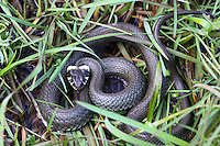 Ringelnatter, Ringel-Natter, Natter, Nattern, Natrix natrix, grass snake, grass-snake