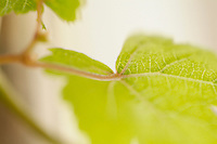 Green grapevine leaf (Vitis).