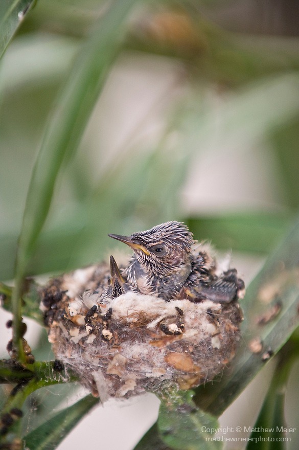 La Jolla, California;  one of the two newly hatched Anna's Hummingbird (Calypte anna) chicks stretches it's wings while sitting in their nest