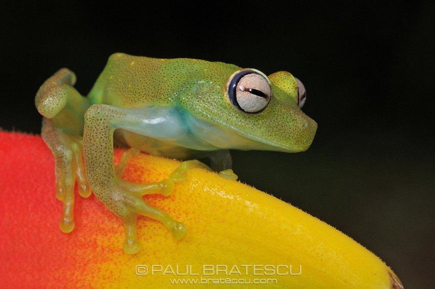 Polkadot, Spotted Emerald Glass Tree Frog (Hyla punctata)