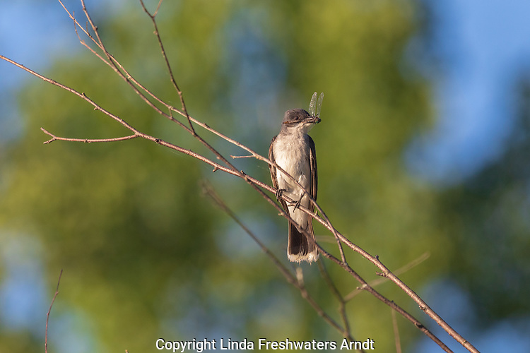 Eastern kingbird holding a dead dragonfly as it approaches the nest.