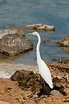 Great Egret (Casmerodius albus egretta) in rocky beach of Pacheca Island. Las Perlas Archipelago, Panama province,  Panama, Central America.