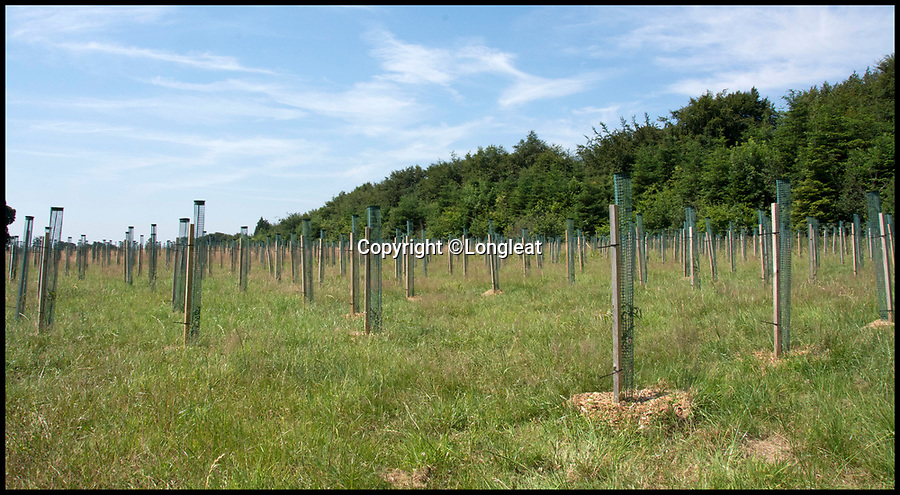 BNPS.co.uk (01202) 558833Pic: Longleat/BNPS<br /> <br /> Longleat have planted 4000 eucalyptus to feed their new arrivals.<br /> <br /> A British country estate is set to give hope to one of Australia's most iconic and increasingly threatened species.<br /> <br /> The Longleat Estate, in Wiltshire, have revealed that they will soon be the first park in Europe to take delivery of six southern koalas from Cleland Wildlife Park in Adelaide, as part of an international breeding programme.<br /> <br /> The Australian government have recently listed the cuddly marsupial as 'vulnerable to extinction' as dog attacks and bush fires take a toll on the slow moving bear.<br /> <br /> After spending time in quarantine, the koalas, along with a pair of wombats which are the koalas' closest relative, will be transferred into a purpose-built area of the estate called Koala Creek.<br /> <br /> Creating the specialist area has been a long and thorough task for staff, who have even developed a 4,000-tree eucalyptus plantation to keep the bears well-fed.