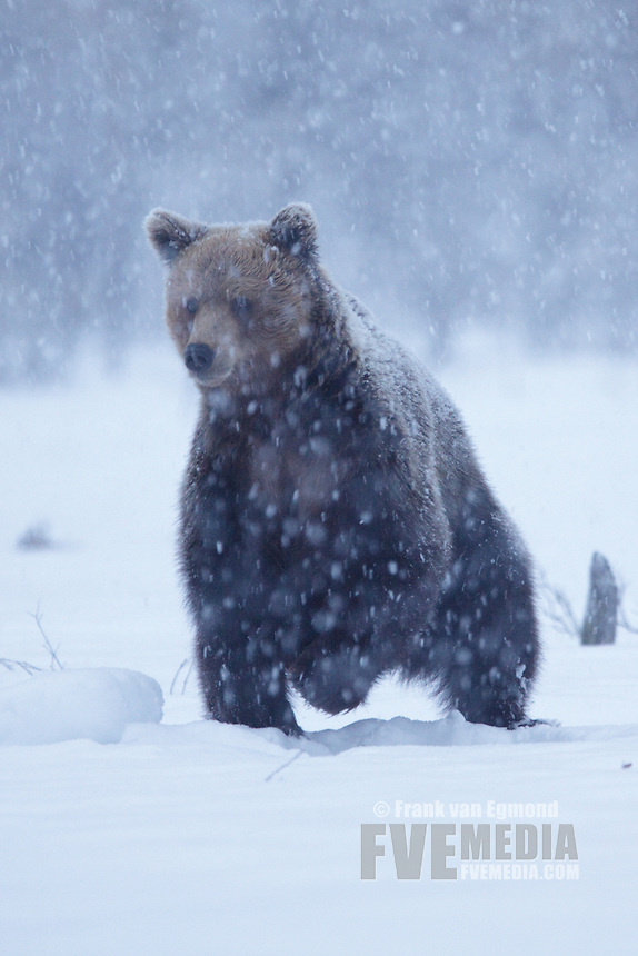 Eurasian Brown Bear during heavy snowfall.