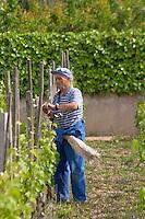 tying up vines vineyard with reed cornas rhone france