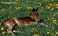 SH08-006z  Arabian Horse - resting colt