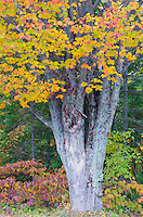 A Maple tree trunk is topped by its autumn colors in a Newport State Park forest, Door County, Wisconson