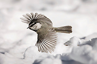 mountain chickadee, Poecile gambeli, adult in flight in snow, Yellowstone National Park, Wyoming, USA, North America