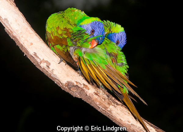 Rainbow Lorikeets mirror preening.  //  Rainbow Lorikeet - Psittacidae: Trichoglossus haematodus. Length to 30cm; wingspan to 45cm; weight to 150g; As part of the pair-bonding ritual Rainbow Lorikeets engage in a distinctive behaviour called mirror preening - the two birds sit close together and preen so that at times they mimic each other's postures. This is a deliberate behaviour, and the postures can vary widely but always mimic each other - here they clean and reposition the feathers of the wing coverts. At other times they may preen individual tail or wing feathers together, or reach for the preen gland (oil gland) above the base of the tail, etc. This behaviour is interspersed with individual preening where each 'goes its own way', preening as needed to maintain plumage integrity. This species may be mated for life, but not certain due to insufficient data from the wild. The brown colour indicates the affected feathers (normally green as on the back) have structural colour caused by micro-structures on the barbules fine enough to alter the wavelength of reflected light. When wet this colour change occurs, only to be restored as the feathers dry. Found in coastal regions in northern and eastern Australia from the Kimberley Region in northern Western Australia (Red-collared Lorikeet) to eastern South Australia. Occurs in forests, woodlands and rural and urban areas. Feeds mainly on nectar and pollen which it gathers with its brush-tipped tongue. Aviary-escapees are established in many towns and cities. Now occurs in south-west Western Australia, New Zealand, Hong Kong.  Widespread with many subspecies - often with a different name - from eastern Indonesia (Maluku = Molucca Islands) through New Guinea east to Vanuatu and New Caledonia, north through Manus and the Admiralty Islands the Philippine Islands (taxonomy of the group is not yet finalised and this may be a different species).  Common.  //