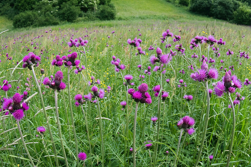 Bach-Distel, Cirsium rivularis, Poloniny Nationalpark, Ost-Slowakei / Thistle, Cirsium rivularis, Poloniny Nationalpark, East Slovakia