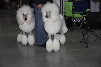 2 big white pudels standing with front to the camera, and the owner standing in profile in the middle, wearing blue jeans and a black blouse. At the international dog show in prague may 2014.
