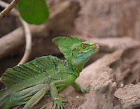 Green Basilisk on a rock