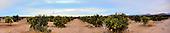 Stock photo of Lemon field