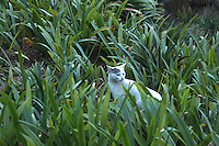 Stock image - white cat looking over keenly standing in shrubs.