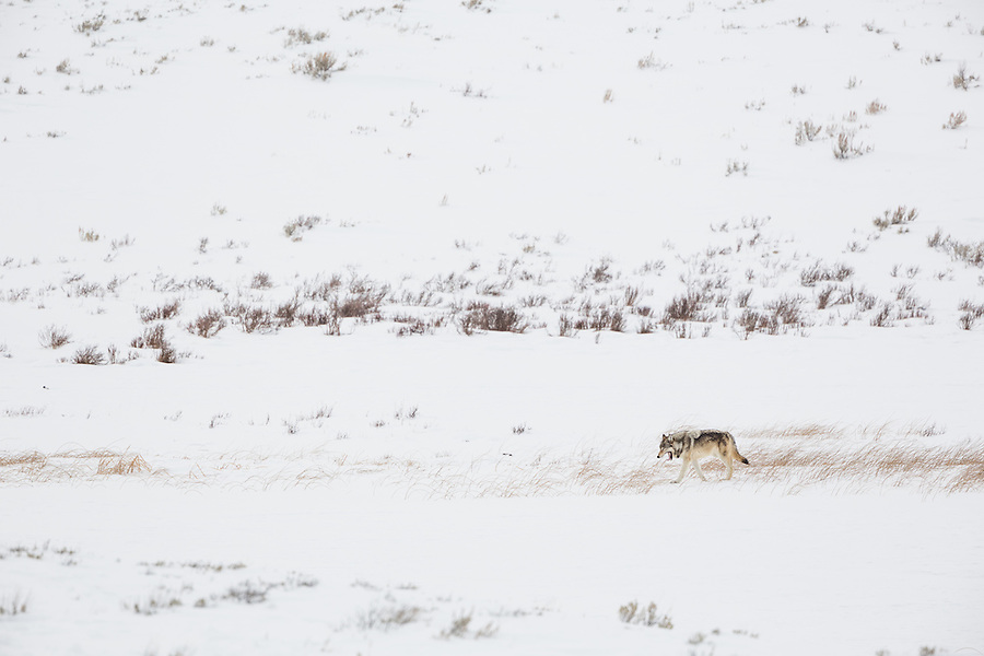 A gray wolf yawns as it walks amongst the snow-covered grass in Yellowstone National Park during a light snowfall.