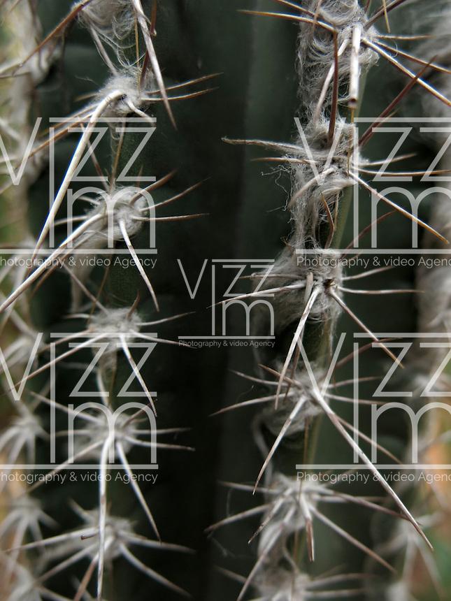 BOGOTÁ-COLOMBIA-15-01-2013. Puas de cactus. Cactus quills. (Photo:VizzorImage)