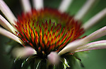 An echinacea bloom, seen in Gardnerville, Nev., on Thursday, June 27, 2013. <br /> Photo by Cathleen Allison