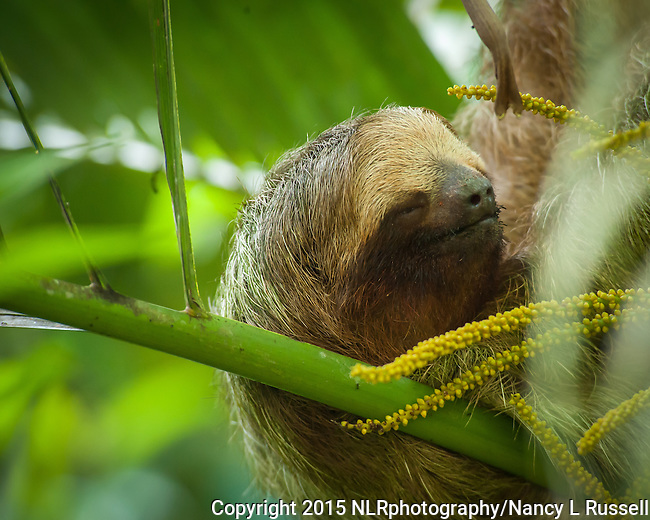 Three Toed Sloth resting in the trees