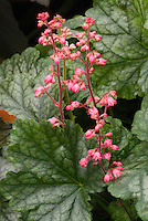 Heuchera 'Pinot Noir' in flowers THIS IS NOT PINOT NOIR