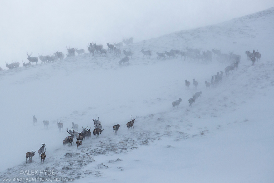 Red Deer herd {Cervus elaphus} moving over mountain ridge in heavy snow. Cairngorms National Park, Scotland. January.