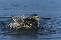 Long-billed Dowitcher (Limnodromus scolopaceus), adult bathing, Sinton, Coastel Bend, Texas, USA