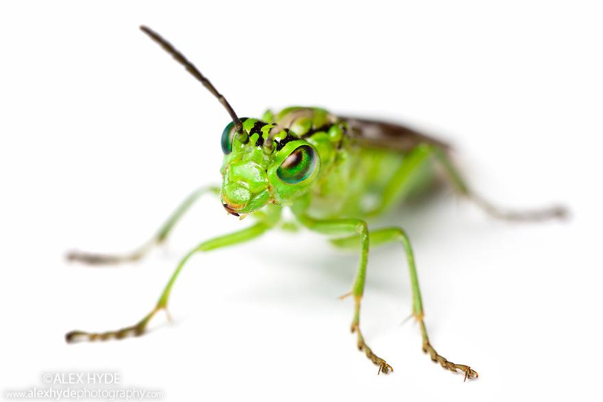 Green Sawfly {Rhogogaster viridis} photographed on a white background. Derbyshire, UK. July.