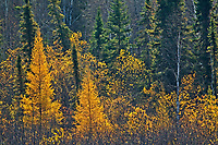 Eastern larch (Larix laricina) trees in autumn<br />