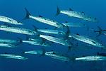 Schooling Chevron barracuda (Sphyraena qenie)