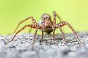 Wolf Spider female {Pardosa lugubris}. Peak District National Park, Derbyshire, UK. June.