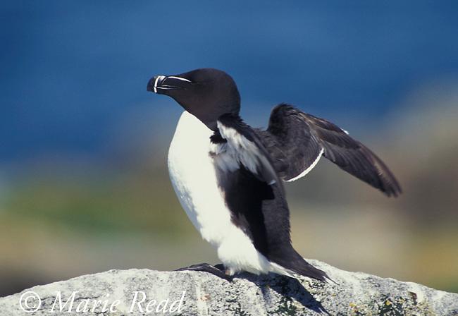 Razorbill (Alca torda) flapping its wings, Machias Seal Island, ME/NB, USA/Canada<br /> B62-417