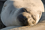 San Simeon, California; Northern Elephant Seal (Mirounga angustirostris) pup resting against it's mother's side