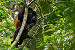 Mantled Howler Monkey (Alouatta palliata) family in tree, Osa Peninsula, Costa Rica