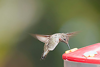 Anna's hummingbird, Calypte anna, at a backyard feeder in Alameda County, California