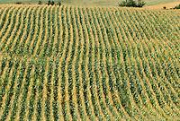 Fields of corn planted in rows growing in summertime in Western Switzerland