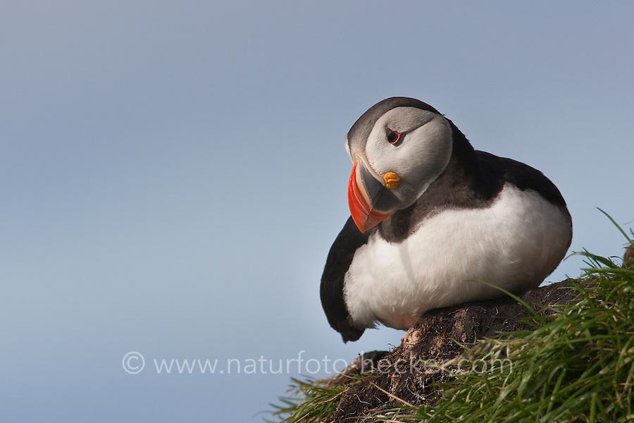 Papageitaucher, Papagei-Taucher, Fratercula arctica, Atlantic puffin, Vogelfels, Vogelfelsen