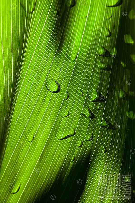 A close-up of early morning light illuminating a ti leaf, Kaua'i.