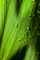 A close-up of early morning light illuminating a ti leaf, Kaua'i.