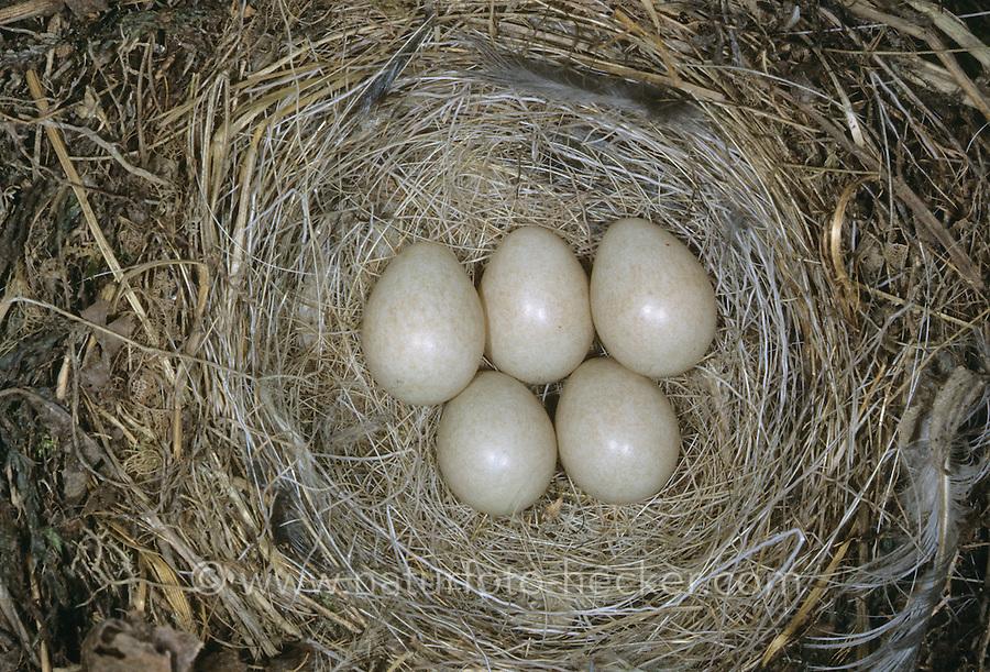 Gebirgsstelze, Ei, Eier, Gelege im Nest, Gebirgs-Stelze, Gebirgstelze, Bergstelze, Motacilla cinerea, Grey Wagtail